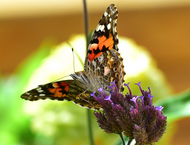 Painted Lady Butterflies