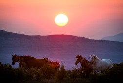 Grand Junction, CO - AUG 4: Wild horses graze on the Bureau of Land Management's Little Book Cliffs Wilderness Study Area on August 4, 2017 near Grand Junction, Colorado. (Photo by Gabriel Scarlett/The Denver Post)
