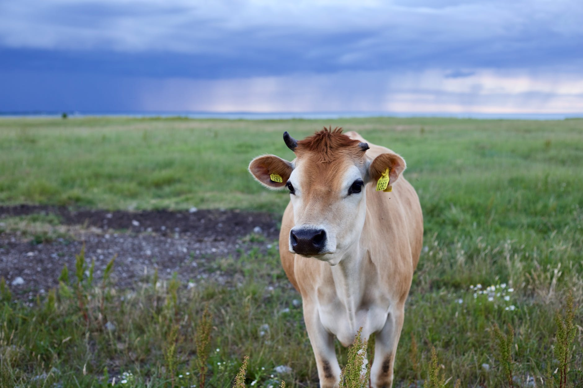 selective focus of cow photo